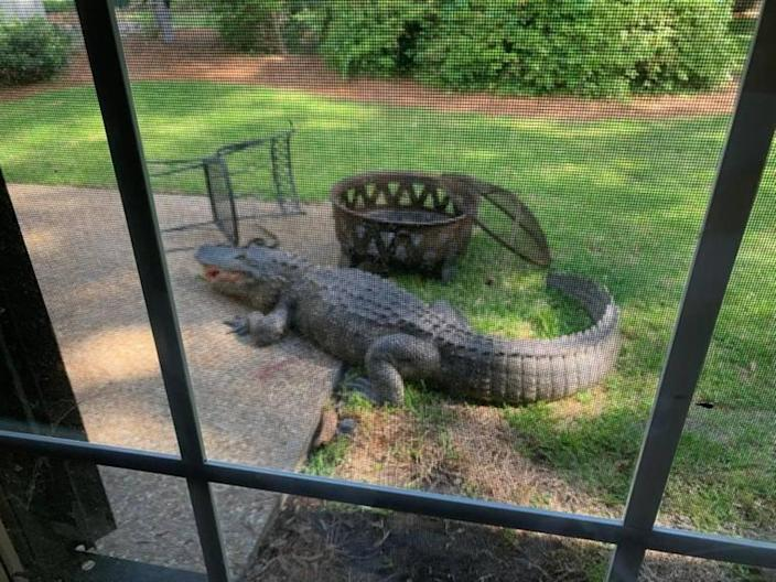 A large alligator toppled patio furniture outside a home in Sea Pines on Hilton Head Island on Monday, April 20, 2020.