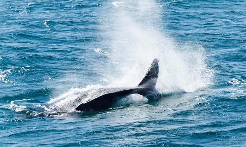 Humpback Whales off Point Lookout, North Stradbroke Island.