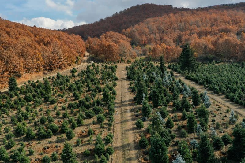 View of fir trees, grown to be sold as Christmas trees, at a farm in the village of Taxiarchis, during the coronavirus disease (COVID-19) pandemic, in the region of Chalkidiki