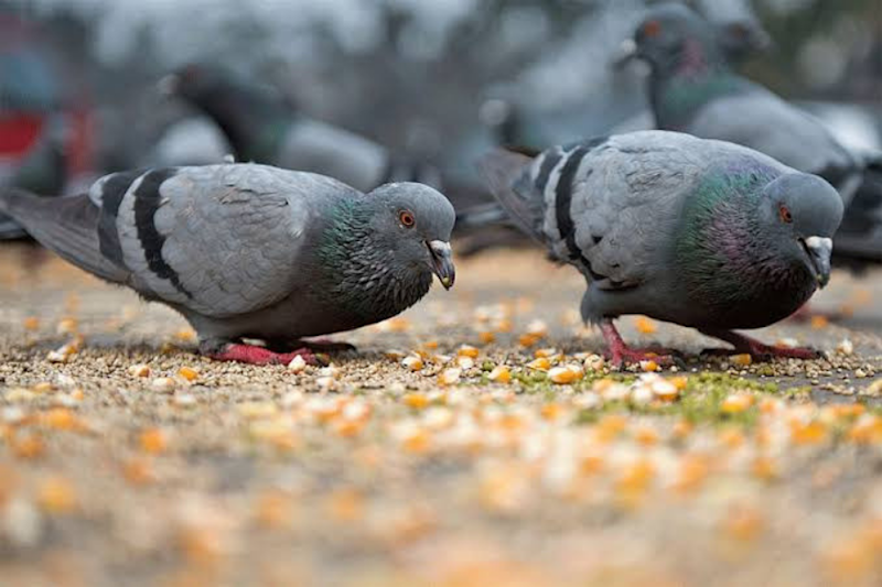 The 'Hair-Raising' Reason Why Pigeons Lose Their Toes