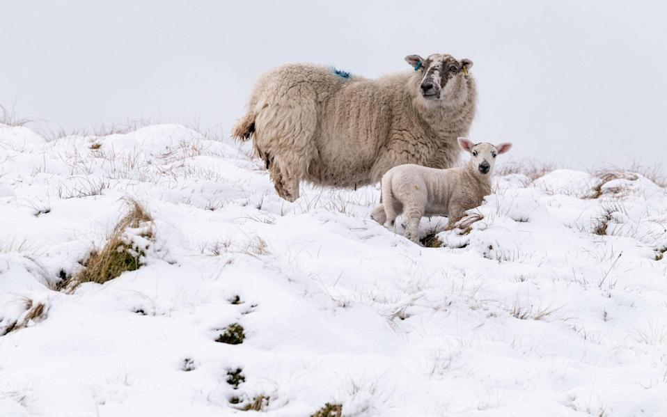 Lambs in the snow - CHRIS STRICKLAND/ALAMY LIVE NEWS