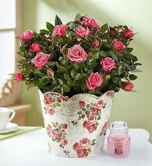 """<p><strong>1-800-Flowers</strong></p><p>1800flowers.com</p><p><strong>$34.99</strong></p><p><a href=""""https://go.redirectingat.com?id=74968X1596630&url=https%3A%2F%2Fwww.1800flowers.com%2Fplants-classic-rose-101980%3FcategoryId%3D400077289&sref=https%3A%2F%2Fwww.goodhousekeeping.com%2Fholidays%2Fgift-ideas%2Fg27229925%2Fstepmom-gifts%2F"""" rel=""""nofollow noopener"""" target=""""_blank"""" data-ylk=""""slk:Shop Now"""" class=""""link rapid-noclick-resp"""">Shop Now</a></p><p>Every time you catch a whiff of fresh roses, you think of your stepmom (and her perfume). Instead of going the traditional route with a flower bouquet, gift her a rose plant that she can later put in her garden to enjoy for years to come. </p>"""