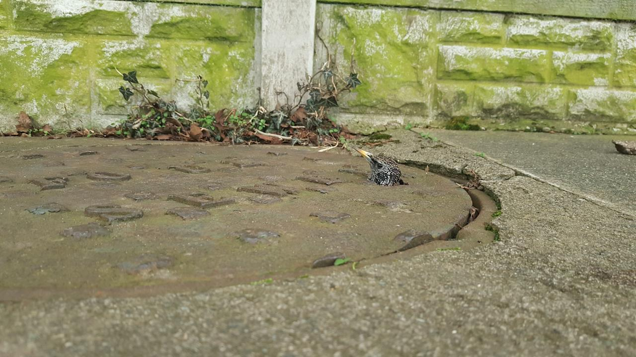 <p>A little starling was a little startled after getting stuck in a manhole cover. A man spotted the wild bird in a flap and called the RSPCA. Animal welfare officer Sam Jopson went along to the stricken bird, in Carlisle, Cumbria, to free her. 'I think it's safe to say this startled starling found herself in a hole lot of trouble after flying up from the drains below and getting her head stuck in a gap in the metal cover,' she said.<br />'Or perhaps she was playing a little game of peck-a-boo when she got her head stuck? She had literally popped her head above the parapet to call for help!' Luckily, with the help of some colleagues, she managed to free the bird and release her. You could say it was a flappy ending! (RSPCA) </p>