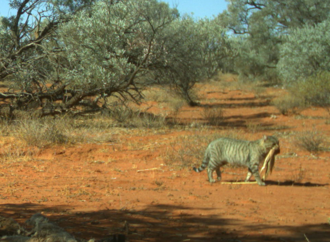A large feral cat pictured carrying a sand goanna in Simpson Desert.