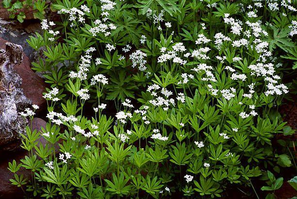 "<p>The petite white star-shaped flowers provide a nice contrast to the deciduous green foliage. While this perennial spreads rapidly, you can mow it to regain control. Keep it in a shady spot, especially under trees and shrubs. </p><p><a class=""link rapid-noclick-resp"" href=""https://go.redirectingat.com?id=74968X1596630&url=https%3A%2F%2Fwww.etsy.com%2Flisting%2F215905397%2Fsweet-woodruff-seeds-asperula-odorata-or&sref=https%3A%2F%2Fwww.goodhousekeeping.com%2Fhome%2Fgardening%2Fg32440508%2Fbest-ground-cover-plants%2F"" rel=""nofollow noopener"" target=""_blank"" data-ylk=""slk:SHOP NOW"">SHOP NOW</a></p>"