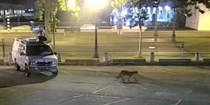 In this image from surveillance camera video provided by KGO-TV/ABC7, a young mountain lion wanders through the station's parking lot in San Francisco on June 16, 2020.