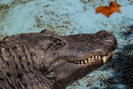 An alligator named Muja rests in its enclosure in Belgrade's Zoo, Serbia, August 14, 2018. REUTERS/Marko Djurica