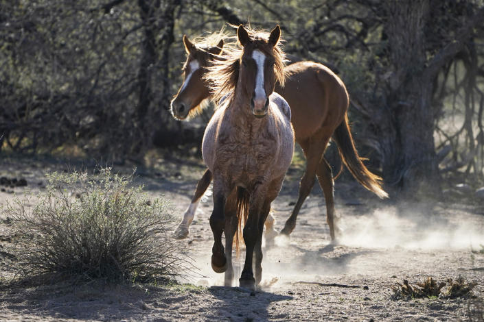 FILE - In this March 10, 2021, file photo, two Salt River wild horses kick up dust as they arrive at a site for emergency feeding run by the Salt River Wild Horse Management Group near Coon Bluff in the Tonto National Forest near Mesa, Ariz. Federal land managers say they're stepping up protections to guard against the illegal resale of wild horses and burros adopted from the government for slaughter after they've been captured on U.S. lands but mustang protection advocates say the Bureau of Land Management needs to do more. (AP Photo/Sue Ogrocki, File)