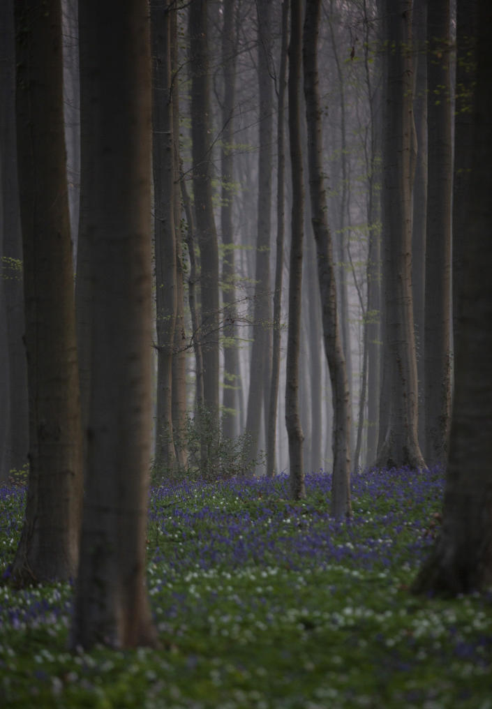 Morning mist begins to lift as bluebells, also known as wild Hyacinth, bloom on the forest floor of the Hallerbos in Halle, Belgium, Tuesday, April 20, 2021. There is no stopping flowers when they bloom or blossoms when they burst in nature, but there are efforts by some local authorities to limit the viewing. Due to COVID-19 restrictions visits to the forest to see the flowers has been discouraged for a second year in a row. (AP Photo/Virginia Mayo)