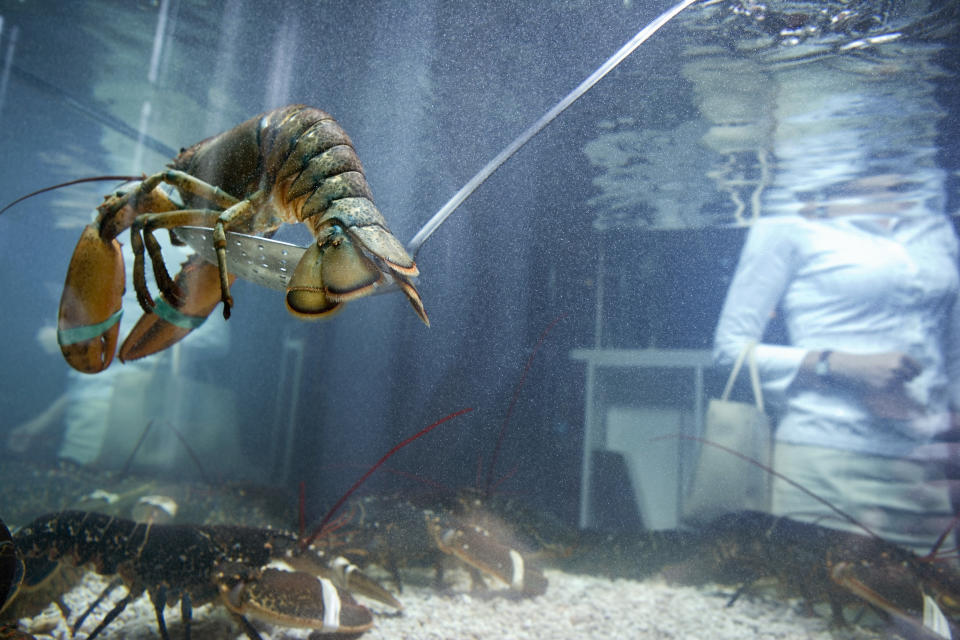 A lobster in a tank swimming away from the camera. It's claws are tied.