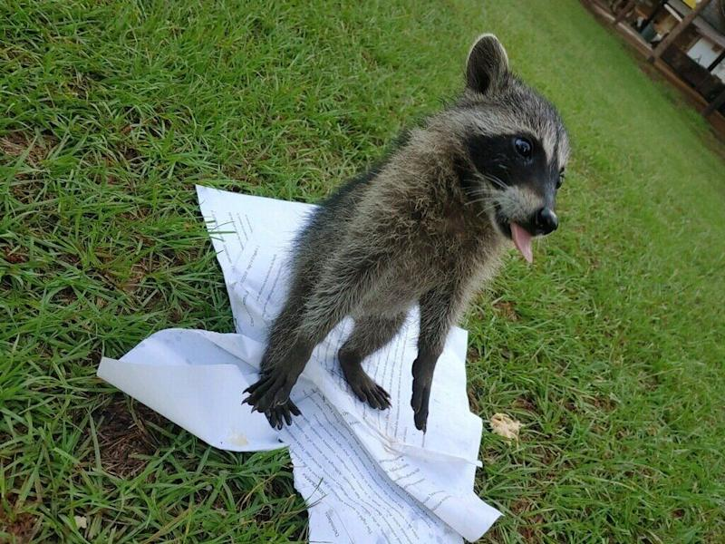 Mark Lee Dickson posted a photo of a baby raccoon playing with an ACLU lawsuit against seven towns in Texas. (Photo: Photo credit: Mark Lee Dickson)