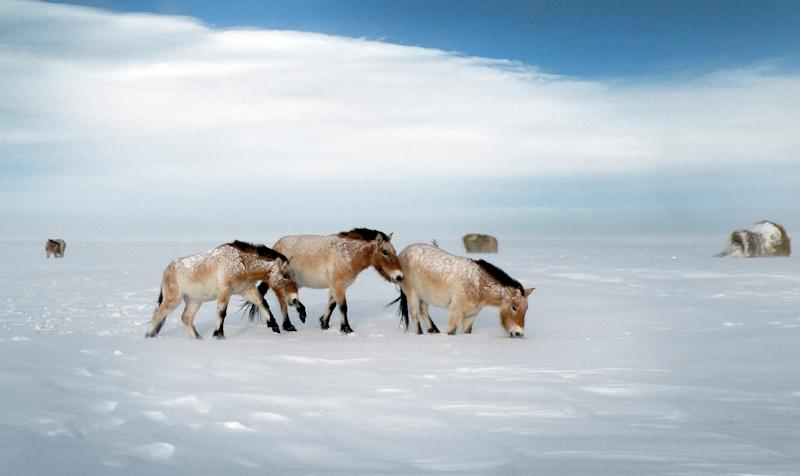 Przewalski horses on a snow covered field in the Orenburg Reserves, a cluster of six nature reserves near the border with Kazakhstan (AFP Photo/Tatjana Zharkikh)