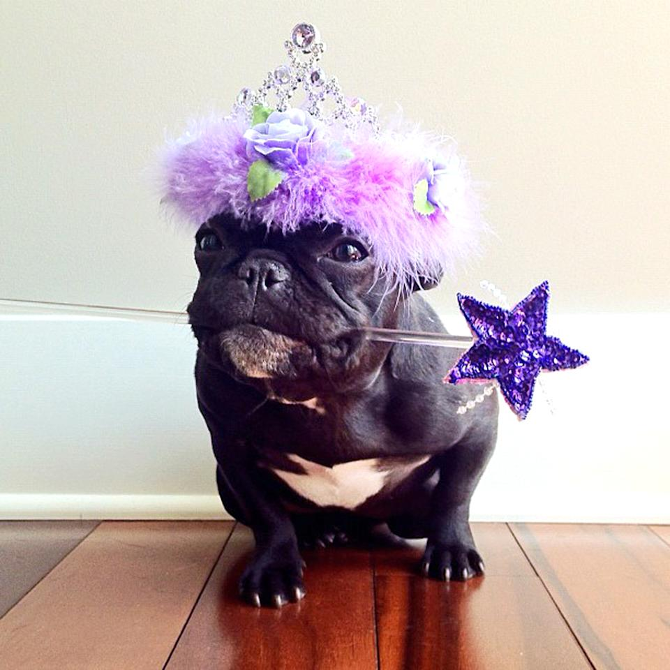 PIC BY SONYA YU / CATERS NEWS - (PICTURED: Trotter dressed as a little princess) - An adorable little French Bulldog has been playing dress-up and has impressively gathered a following of 30,000 on Instagram. The photogenic hipster, called Trotter, wears a range of outfits from a beret, moustache, top hat and pipe to high heels. Owner and Trotters photographer Sonya Yu said her little pup is simply a natural in front of the camera. SEE CATERS COPY