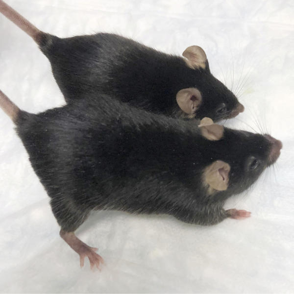 """This August 2020 photo provided by Dr. Se-Jin Lee shows a normal mouse and a """"twice-muscled"""" mouse developed at the The Jackson Laboratory of the University of Connecticut School of Medicine in Farmington, Conn. Findings published on Monday, Sept. 7, 2020, show that muscle-bound mice, similar to the one pictured, held on to their bodybuilder-type physiques during a one month space mission. (Dr. Se-Jin Lee/University of Connecticut School of Medicine via AP)"""