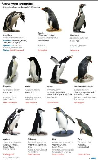 Graphic introducing eleven of the world's penguin species, including the King penguin (also known as the Royal penguin)