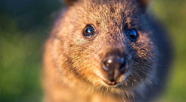 Quokkas are listed as a vulnerable species. Photo: Getty Images