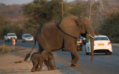 Botswana says legal hunting will ease conflicts between rural communities and its population of 130,000 elephants - Credit: Eddie Mulholland/Telegraph