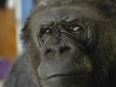 Famed gorilla Koko, known for mastering sign language, building rapport with humans, dies in California at 46