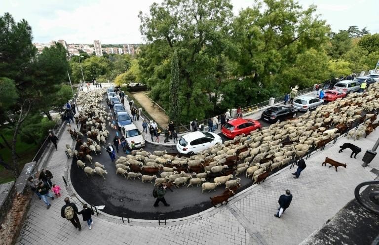 Every year since 1994 sheep farmers have paraded their livestock through the city along a route that once cut through undeveloped countryside on their way to winter grazing pastures in southern Spain (AFP Photo/OSCAR DEL POZO)