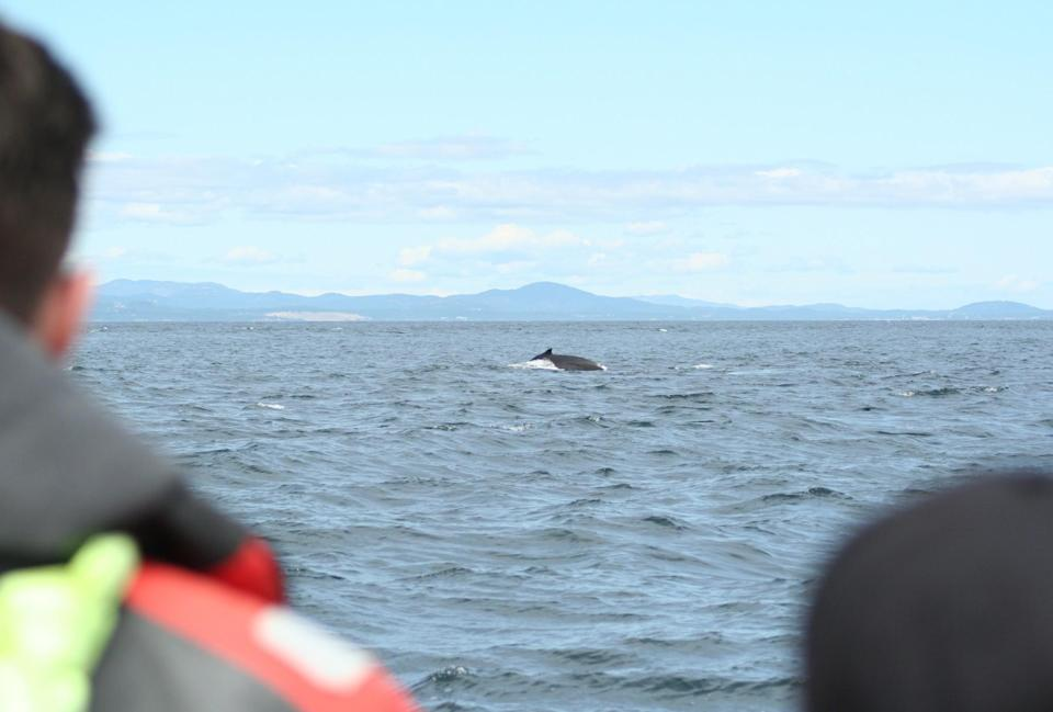 <p>It was incredible. Although this humpback whale was far away from us, my first sighting of a whale was breathtaking as it came up to the surface for air. </p>