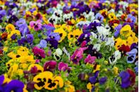 """<p>These <a href=""""https://www.almanac.com/plant/pansies"""" rel=""""nofollow noopener"""" target=""""_blank"""" data-ylk=""""slk:colorful annuals"""" class=""""link rapid-noclick-resp"""">colorful annuals</a> prefer the cool temperatures of fall with their heart-shaped petals and face-like center. Winter varieties can even bounce back from light snow and single digital temperatures.<br></p><p><strong>When it blooms: </strong>Spring and fall </p><p><strong>Where to plant:</strong> Full morning sun</p><p><strong>When to plant:</strong> Early spring or fall</p><p><strong>USDA Hardiness Zones:</strong> 6 to 11</p>"""