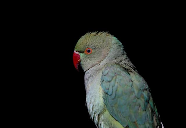 <p>A parrot is seen inside a shop for sale at Ka Faroshi bird market in Kabul, Afghanistan, Jan. 25, 2018. (Photo: Mohammad Ismail/Reuters) </p>