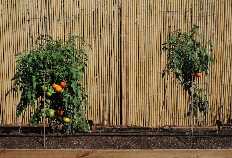 This Feb. 23, 2012 photo provided by courtesy Ball Horticultural Co. shows grafted tomato plants using a tower for support at Costa Farms in Miami, Fla. Grafted vegetables aren't any more difficult to work with than non-grafted but require a slightly different management style. Towers, cages or some kind of trellis system are required because the plants are so vigorous and grow so tall that they need additional support. (AP Photo/Ball Horticultural Co., Mark Widhalm)
