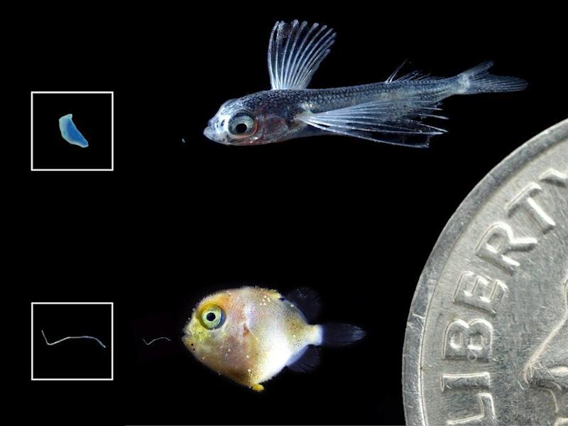 Larval flying fish (top) and triggerfish (bottom) with tiny pieces of ingested plastics shown to their left. Larger images of the plastics appear in boxes further left. Dime shown for scale. (Photo: Jonathan Whitney, NOAA Fisheries.)