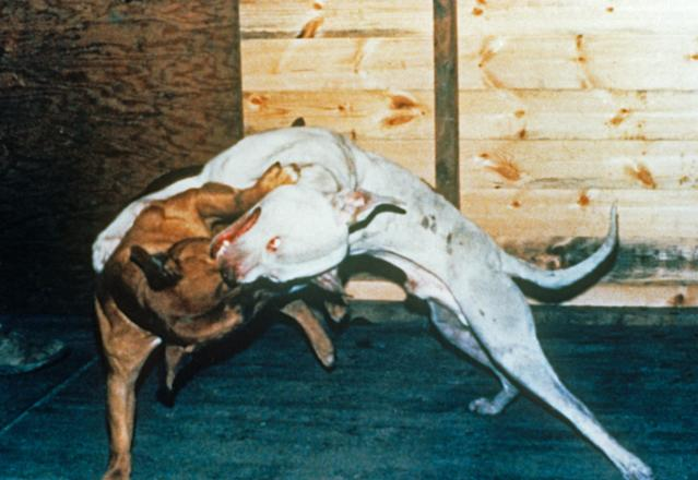 Dog fighting is an offence under section 8 of the Animal Welfare Act 2006. (RSPCA)