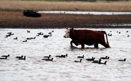 A cow grazes in a flooded field near Norberto de la Riestra, Argentina, January 8, 2019. Picture taken January 8, 2019. REUTERS/Marcos Brindicci