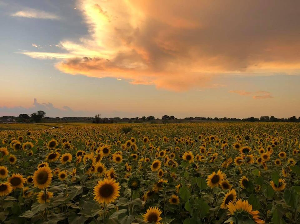 """<p>The Thompson Family has grown strawberries in Kenosha County, Wisconsin, for more than 70 years. But with all that's happened in 2020, current owner Scott Thompson and his family <a href=""""https://www.cnn.com/2020/09/06/us/sunflower-fields-in-wisconsin-trnd/index.html"""" rel=""""nofollow noopener"""" target=""""_blank"""" data-ylk=""""slk:decided their community needed something extra to smile about"""" class=""""link rapid-noclick-resp"""">decided their community needed something extra to smile about</a>. 22 acres of sunflowers and more than 2 million blooms followed, with plenty of space to spread out and social distance. Families can visit <a href=""""https://www.thompsonstrawberryfarm.com/sunflowers-1"""" rel=""""nofollow noopener"""" target=""""_blank"""" data-ylk=""""slk:Thompson Strawberry Farm"""" class=""""link rapid-noclick-resp"""">Thompson Strawberry Farm</a> to pick-their-own for $25 per car.</p>"""