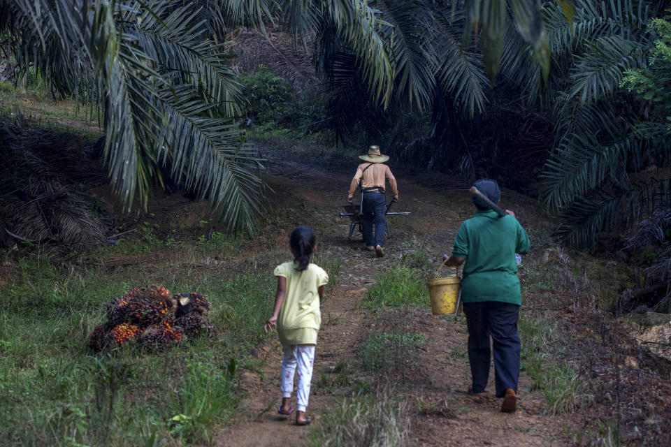 A little girl helps her parents work on a palm oil plantation in Sabah, Malaysia, Monday, Dec. 10, 2018. Many children gather loose kernels and clear brush from the trees with machetes, never learning to read or write. (AP Photo/Binsar Bakkara)