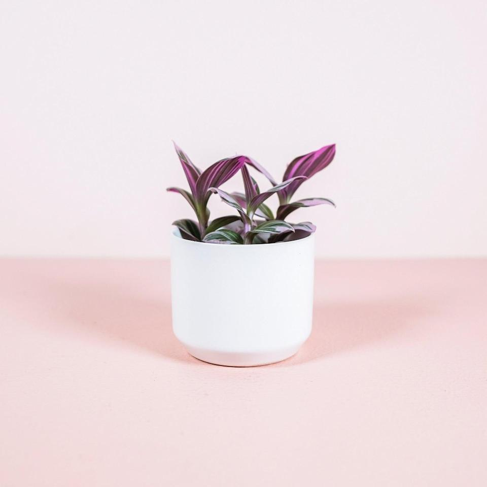 <p>The <span>Wandering Jew</span> ($10) thrives in indirect sunlight and looks so cute in a white pot.</p>