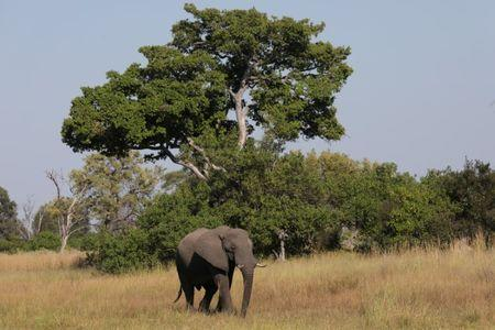 FILE PHOTO: A young bull elephant is seen in the Okavango Delta