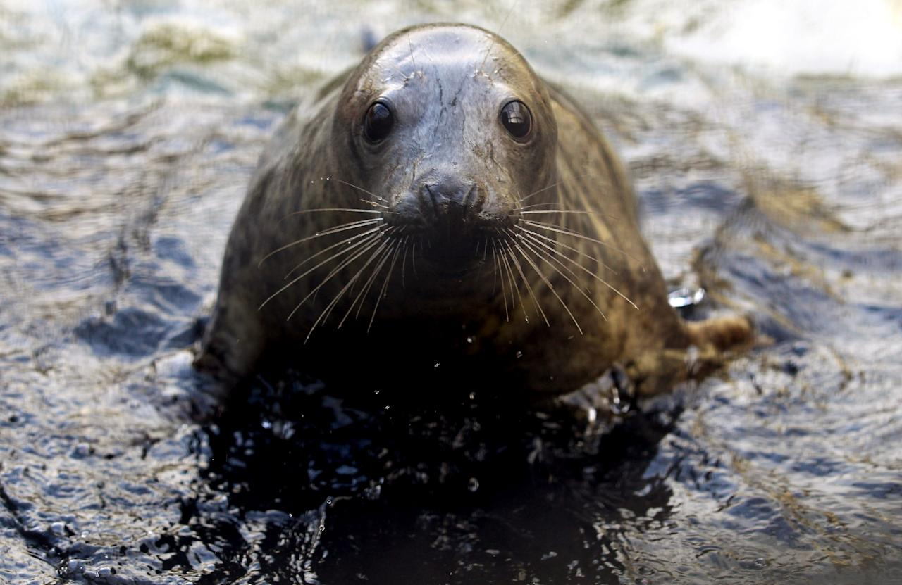 TAUNTON, ENGLAND - JANUARY 09:  A recently rescued grey seal pup watches from a outdoor pool at the RSPCA West Hatch Wildlife Centre on January 9, 2012 in Taunton, England. The centre is currently dealing with a number of mainly grey seals that have been rescued from the coast due to the recent storms. Staff at the centre hope to release all the seals back into the wild by the spring.  (Photo by Matt Cardy/Getty Images)