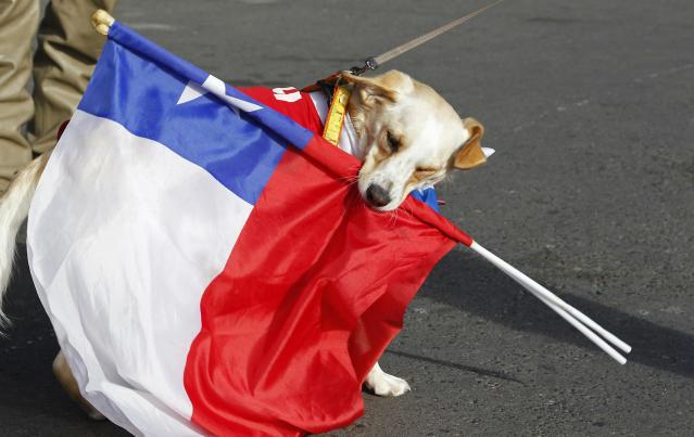 A dog wearing a Chilean national soccer team jersey plays with Chilean national flags beore the start of its travel with its owners from Valparaiso city to Brazil for the 2014 World Cup, June 6, 2014. According to local media, the authorities estimate that hundreds of cars with fans began their long travel from Chile to Brazil this weekend, covering a distance of around 4500 km (2796 miles), to watch the 2014 World Cup. REUTERS/Eliseo Fernandez (CHILE - Tags: ANIMALS SOCIETY SPORT SOCCER WORLD CUP)