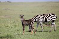"Zebras are known for their striking black and white stripes, but it turns out that not all of the creatures are born with a lovely lined pattern. In fact, some rare zebras are born with spots, such as the <a href=""https://www.nationalgeographic.com/animals/2019/09/zebra-pseudo-melanism-kenya-masai/"" rel=""nofollow noopener"" target=""_blank"" data-ylk=""slk:polka-dotted baby zebra"" class=""link rapid-noclick-resp"">polka-dotted baby zebra</a> (seen above) that was spotted in Kenya's Masai Mara National Reserve in 2019. Named Tira, the foal has a coat that is primarily dark but has white dots, a coloring thought to be due to a genetic mutation called pseudomelanism. Although the little one looks quite a bit different from the rest of his family, he seems to be <a href=""https://www.instagram.com/p/B2Y8fUbA3yu/?utm_source=ig_embed"" rel=""nofollow noopener"" target=""_blank"" data-ylk=""slk:fitting in just fine"" class=""link rapid-noclick-resp"">fitting in just fine</a>."