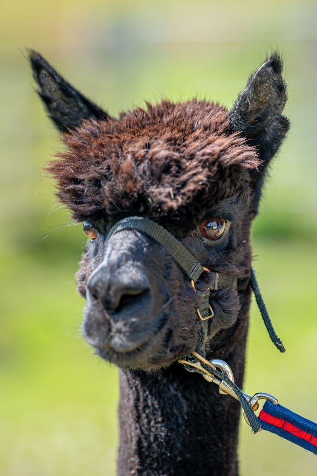 The alpaca is living in isolation at his owner's farm in Wickwar, South Gloucestershire (Ben Birchall/PA).