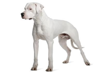 10 Guard-Dog Breeds that Can Protect Your Family