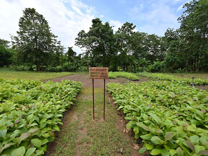 A general view of cuttings for reforestation in the classified forest of Tene near Oumé, south western region in Ivory Coast, on May 19, 2021.  (AFP via Getty Images)