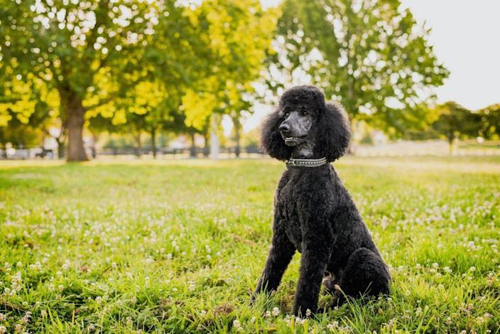 """<p>Arguably the most famous no-shed dog breed, many other breeds have been crossed with Poodles to create perfect, hypoallergenic pups. There are a few varieties of Poodles to choose from — including miniature, toy, and standard — but they're all known for their fun personalities and how <a href=""""https://www.akc.org/dog-breeds/poodle-standard/"""" rel=""""nofollow noopener"""" target=""""_blank"""" data-ylk=""""slk:quickly they can be trained"""" class=""""link rapid-noclick-resp"""">quickly they can be trained</a>, according to the AKC.</p>"""