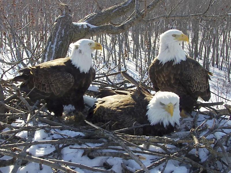 Trio of bald eagles raise chicks as a team along Mississippi river