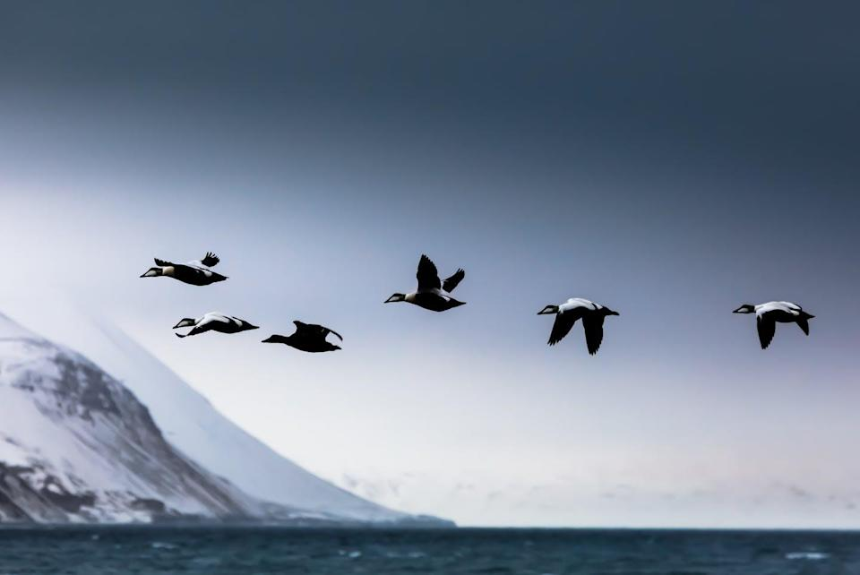 """<span class=""""caption"""">Avian cholera is a highly contagious disease that has produced rapid population loss in Northern common eiders.</span> <span class=""""attribution""""><span class=""""source"""">(Shutterstock)</span></span>"""