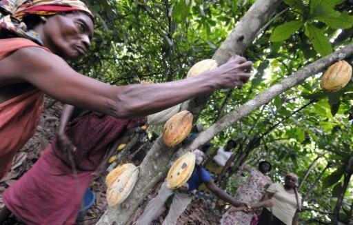 Ivory Coast's cocoa industry was negligible 50 years ago -- today it provides more than a third of the world's output