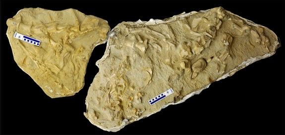 3) The fossilized skeleton of a mosasaur with the bones of three other species of mosasaur in its gut. The marine monster likely scavenged upon carcasses brought to the west coast of Africa by trade winds.