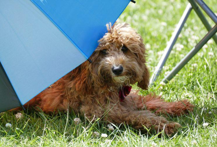 A dog sits in the shade on a hot day (Rex)
