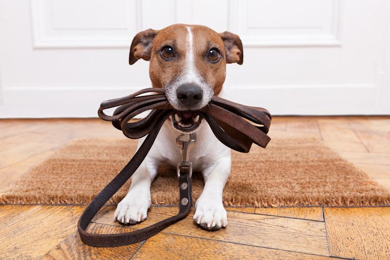 Dog with a leash in its mouth