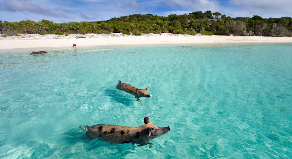 Why not visit the swimming pigs on Exuma on your weekend off? (Getty)