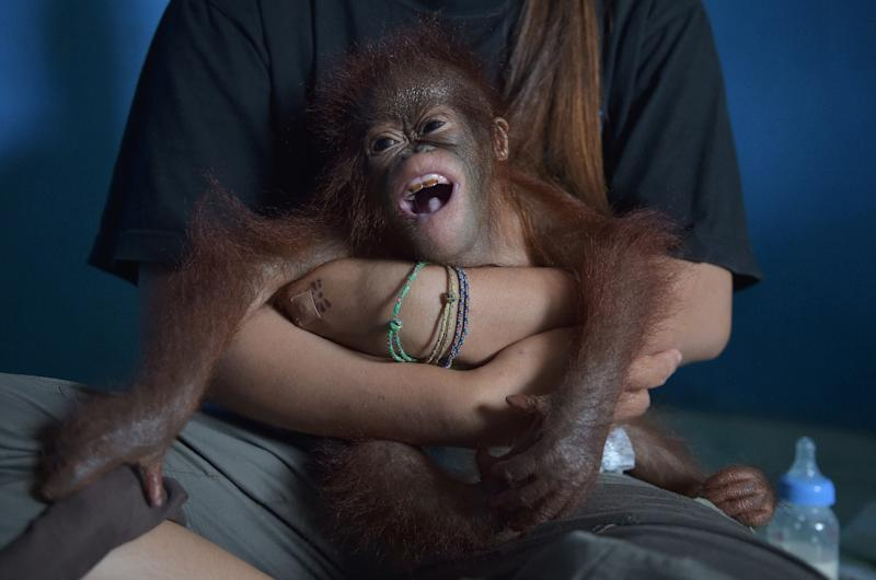 Seven-month-old Vena was rescued by wildlife officals and environmentalists from someone who had illegally kept her as a pet (AFP Photo/ADEK BERRY)