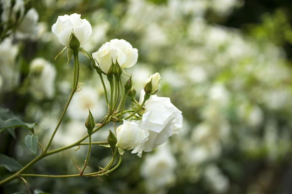 """<p>Your garden needs at least one rose bush! New shrub or landscape types are more cold-hardy and disease-resistant, and they bloom all summer, well into fall. Roses need full sun. </p><p><a class=""""link rapid-noclick-resp"""" href=""""https://www.amazon.com/Perfect-Plants-White-Drift-Gallon/dp/B07QRSCJ33/ref=sr_1_1?dchild=1&keywords=WHITE+DRIFT+ROSE&qid=1612547235&sr=8-1&tag=syn-yahoo-20&ascsubtag=%5Bartid%7C10063.g.35507259%5Bsrc%7Cyahoo-us"""" rel=""""nofollow noopener"""" target=""""_blank"""" data-ylk=""""slk:SHOP ROSES"""">SHOP ROSES</a></p>"""